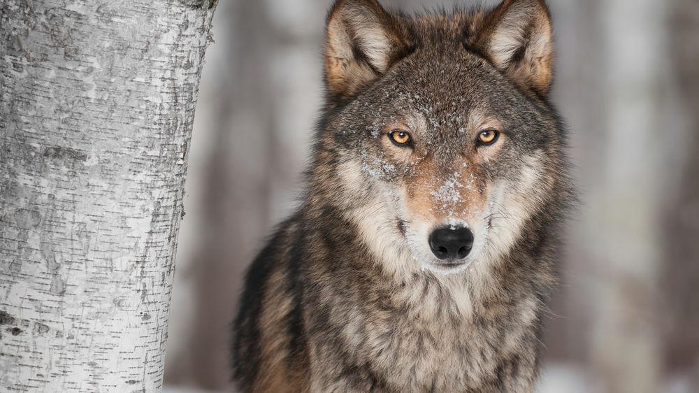 Жизнь в теле вожака стаи волков