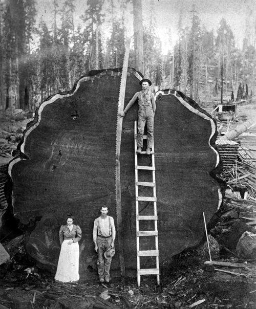 Смена полюсов и веток реальности. Деревья исполины